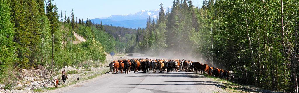 Cattle drive on the Chilcotin Highway, British Columbia. Photo Deborah Jones © 2012