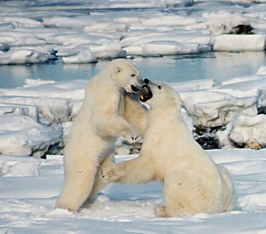 546px-Polar_Bears_Play_fight
