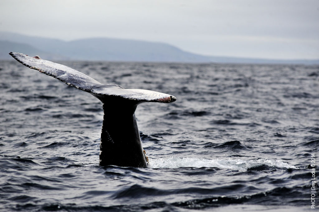 A humpback whale feeding off the coast of Newfoundland on Canada's Atlantic coast. Photo by Greg Locke © 2014