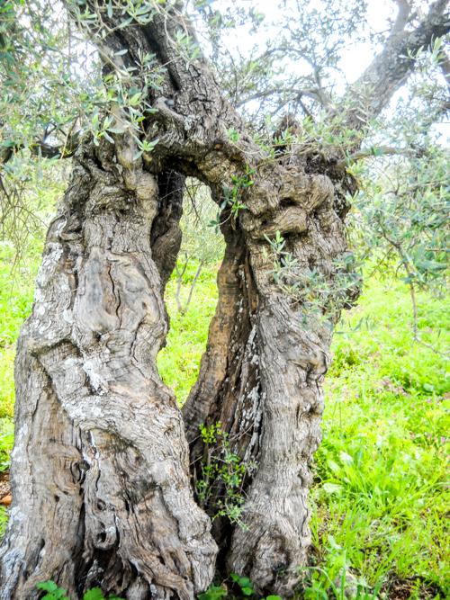 PikiWiki_Israel_30033_Olive_tree