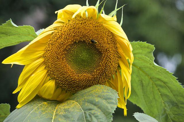 August wilt, as the harvest nears. © Deborah Jones 2014