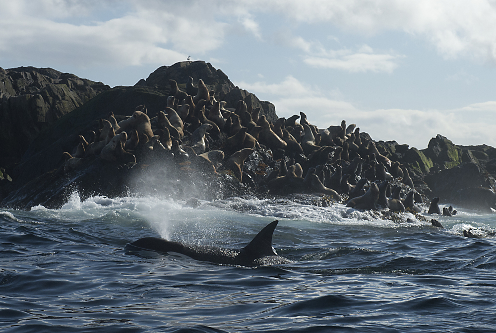 A mammal-eating transient killer whale circles a sea lion haul waiting to make a kill. Photo by Ian McAllister, Copyright 2014