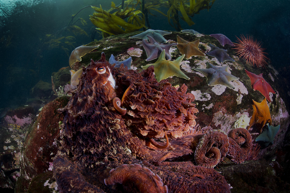 Octopus and bat stars.  Canada has the longest coast line on the planet and ranks among the last in marine protected areas. Photo by Ian McAllister, Copyright 2014.