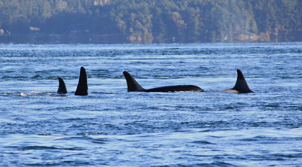 The last photo of J32, right, taken on Nov. 29 just before her death.  © Melisa Pinnow, Orca Network