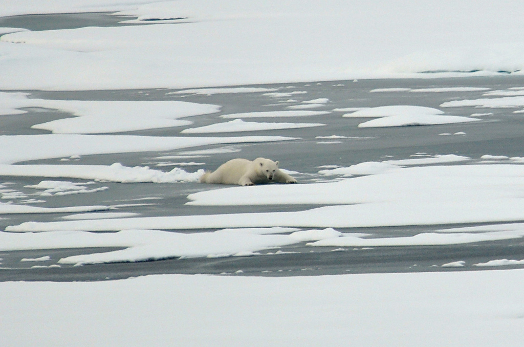A polar bear slides across thin Actic Ocean ice in August,  2009. Photo Credit: Patrick Kelley, U.S. Coast Guard