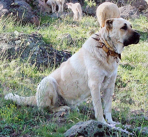 A Kangal mastiff on guard in Turkey, protected from predators by a spike collar. Photo: Creative Commons via Wikipedia