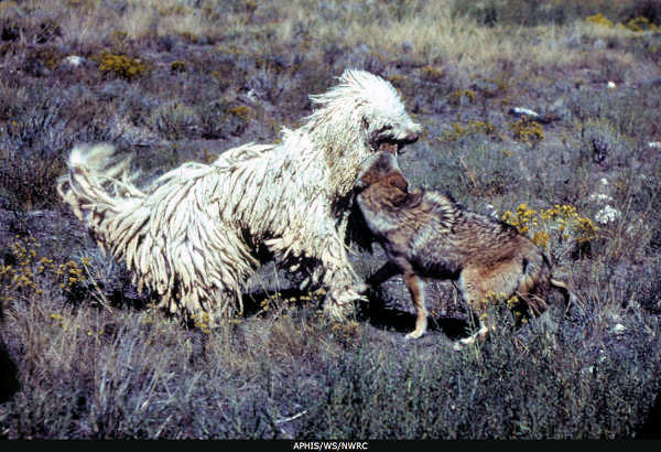 Ranchers are turning to Livestock Protection Dogs to guard against predators like wolves, bears and coyotes, to the benefit of all. Photo United States Department of Agriculture, public domain