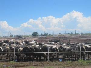 """Cattle Feedlot near Rocky Ford, CO IMG 5651"" by Billy Hathorn - Own work. Licensed under CC BY-SA 3.0 via Wikimedia Commons - https://commons.wikimedia.org/wiki/File:Cattle_Feedlot_near_Rocky_Ford,_CO_IMG_5651.JPG#/media/File:Cattle_Feedlot_near_Rocky_Ford,_CO_IMG_5651.JPG"