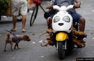 A man carrying butchered dogs drives past a pet dog at a dog meat market ahead of a local dog meat festival in Yulin, Guangxi Autonomous Region, June 21, 2015. Local residents in Yulin host small gatherings to consume dog meat and lychees in celebration of the summer solstice which marks the coming of the hottest days for the festival, which this year falls on Monday. REUTERS/Kim Kyung-Hoon TPX IMAGES OF THE DAY