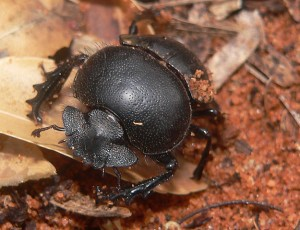 Dung beetles are superb cleaners.Above: Scarabaeus viettei 01. By Axel Strauß, Creative Commons via Wikipedia.