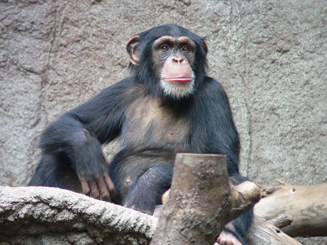 A chimpanzee at the zoo in Leipzig. Photo by Thomas Lersch, Creative Commons via Wikipedia