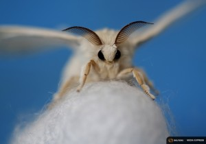 A silkmoth that has hatched out of its cocoon is seen at the Campoverde cooperative, Castelfranco Veneto, Italy June 4, 2015. Despite having wings, the adult moth cannot fly. Clusters of silkworms munch on piles of locally-grown mulberry leaves in a white marquee in Italy's northern Veneto region. They are nourishing hopes of a revival of Italy's 1,000 year-old silk industry. Picture taken June 4, 2015. REUTERS/Alessandro Bianchi  TPX IMAGES OF THE DAY