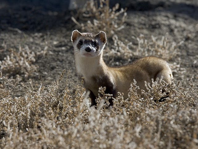 Black footed ferret. Photo by Ryan Hagerty, U.S. Fish and Wildlife Service