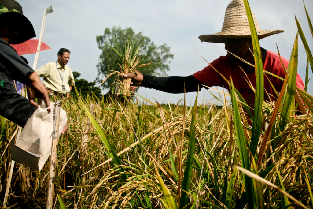 Workers collect samples for a 2010 field trial of Golden Rice. Photo: International Rice Research Institute.