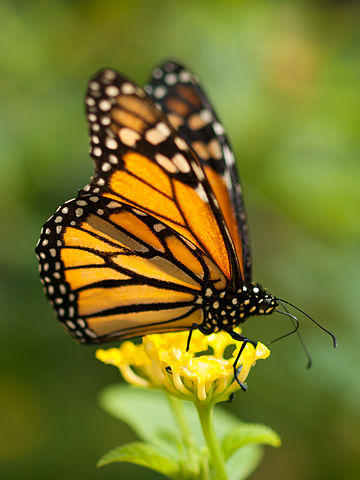 Monarch butterfly. Photo by William Warby/Flickr CC BY 2.0