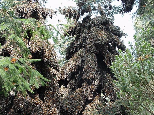 Monarch butterflies cover a tree Photo by Bfpage/WikipediaCC BY 3.0