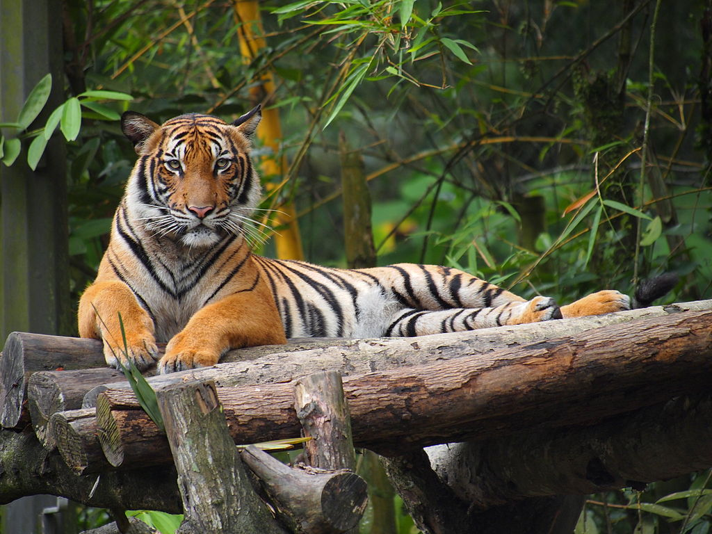 The days of Malaysia's rise as an Asian Tiger Economy have long been past, but only now is Prime Minister Nijib Razak finding himself cornered. Above, a Malayan Tiger at National Zoo Malasia. Photo: Tu7uh/Wikippedia/CC BY 3.0