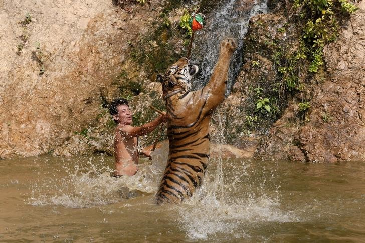 "Controversy surrounds Thailand's Tiger Temple. Above, a tiger jumps while being trained at the Tiger Temple in Kanchanaburi province, west of Bangkok, Thailand, February 25, 2016. REUTERS/Chaiwat Subprasom SEARCH ""THE WIDER IMAGE"" FOR ALL STORIES TPX IMAGES OF THE DAY"