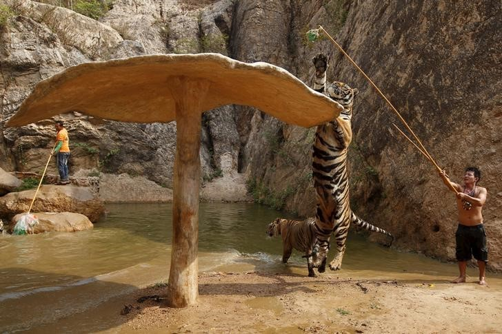 "A tiger jumps while it is trained at the Tiger Temple in Kanchanaburi province, west of Bangkok, Thailand, February 25, 2016. REUTERS/Chaiwat Subprasom SEARCH ""THE WIDER IMAGE"" FOR ALL STORIES"