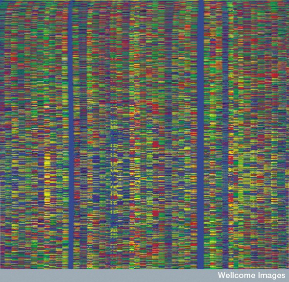 B0003186 Automated DNA sequencing output - HGP Credit: The Sanger Institute. Wellcome Images images@wellcome.ac.uk http://images.wellcome.ac.uk The output from an automated DNA sequencing machine used by the Human Genome Project to determine the complete human DNA sequence. Each vertical lane shows the sequence of bases in a given stretch of DNA. Each of the four different bases is labelled with one of the four coloured dyes. The order of the bases is analysed by a computer and assembled to give the continuous base sequence of each chromosome. This image shows the sequence of only a tiny part of one chromosome. Published: - Copyrighted work available under Creative Commons by-nc-nd 2.0 UK, see http://images.wellcome.ac.uk/indexplus/page/Prices.html