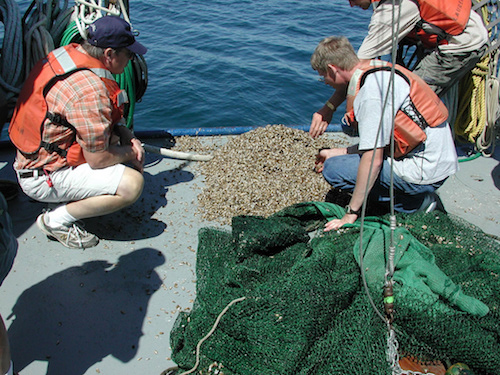 Quagga mussels in fish trawl. Lake Michigan, August 2006. Photo NOAA