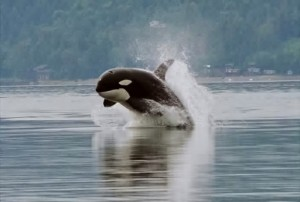 Orcas: the whales with a dam problem. Photo: Minette Layne