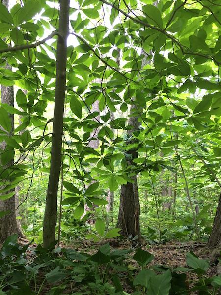 A Bellemare Magnolia tripetala, in Concord, MA