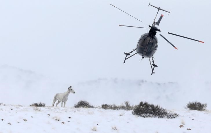 "A wild horse is herded into corrals by a helicopter during a Bureau of Land Management round-up outside Milford, Utah, U.S., January 7, 2017. REUTERS/Jim Urquhart        SEARCH ""WILD HORSE"" FOR THIS STORY. SEARCH ""WIDER IMAGE"" FOR ALL STORIES.     TPX IMAGES OF THE DAY"
