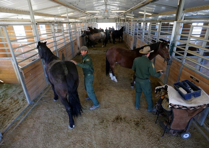 "U.S. Border Patrol agents prepare their horses for patrol at their station in Boulevard, California, U.S., November 14, 2016. REUTERS/Mike Blake        SEARCH ""WILD HORSE"" FOR THIS STORY. SEARCH ""WIDER IMAGE"" FOR ALL STORIES."