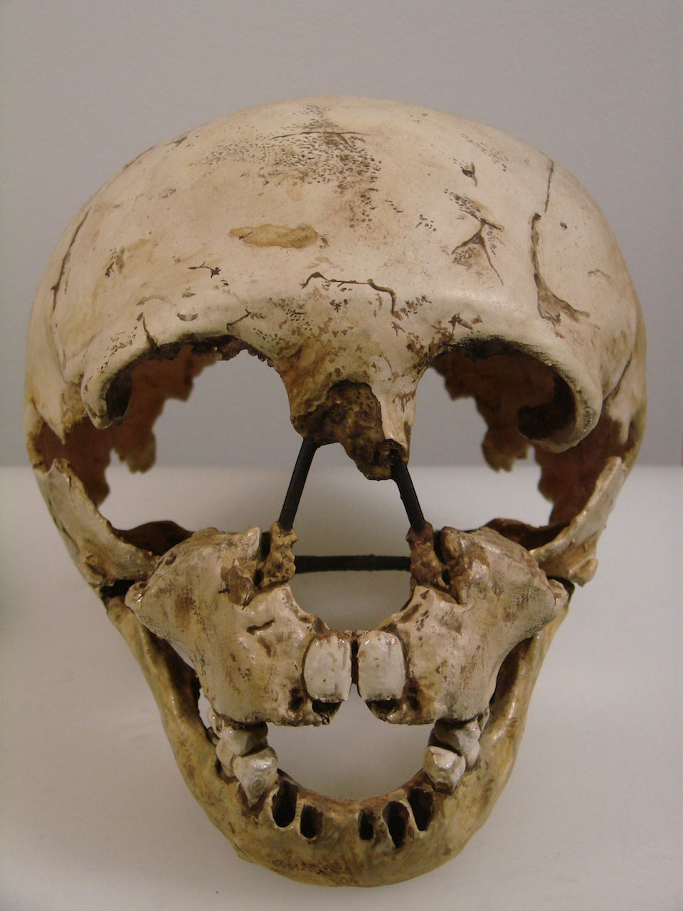 The Gibraltar 2 skull, discovered in 1926 in Devil's Tower Cave, was the second Neanderthal skull to be found in Gibraltar. Photo credit: Muséum d'Anthropologie, campus universitaire d'Irchel, Université de Zurich (Suisse) : Homo neanderthalensis (Gibraltar), via Wikipedia