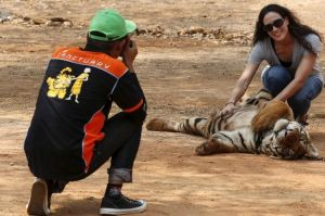 Spotlight: Thailand's Tiger Temple