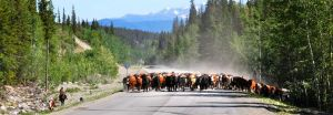 FO-Geo-Chilcotin-cattle-drive-British-Columbia.jpg