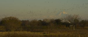 Lesser Snow Geese on Westham Island in Delta, British Columbia, with Mount Baker, Washington State, in the distance. © Deborah Jones 2014