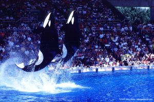c35-Orcas perform at SeaWorld in Florida. © Greg Locke.jpg